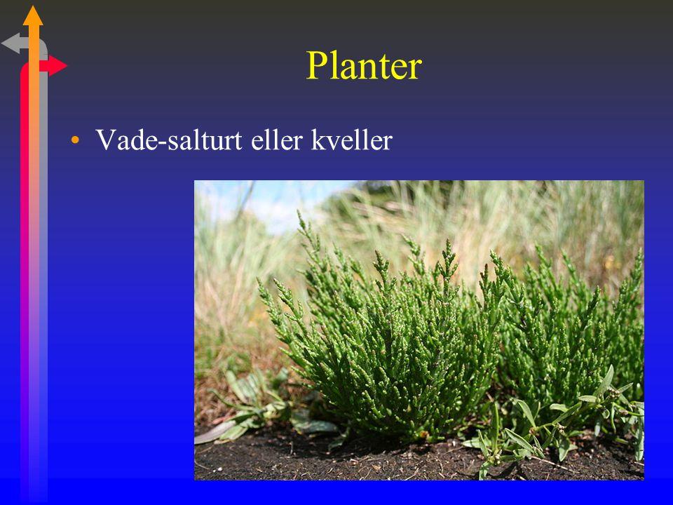 Planter Vade-salturt eller kveller