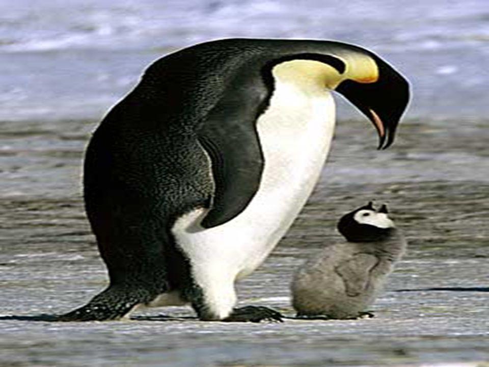 Pingivinen og problemet med at vende sig fra.