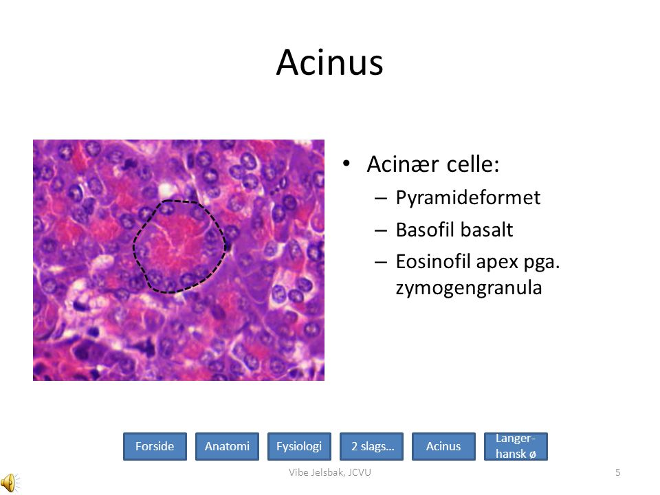 Acinus Acinær celle: Pyramideformet Basofil basalt