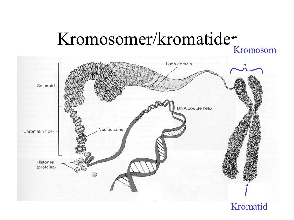 Kromosomer/kromatider