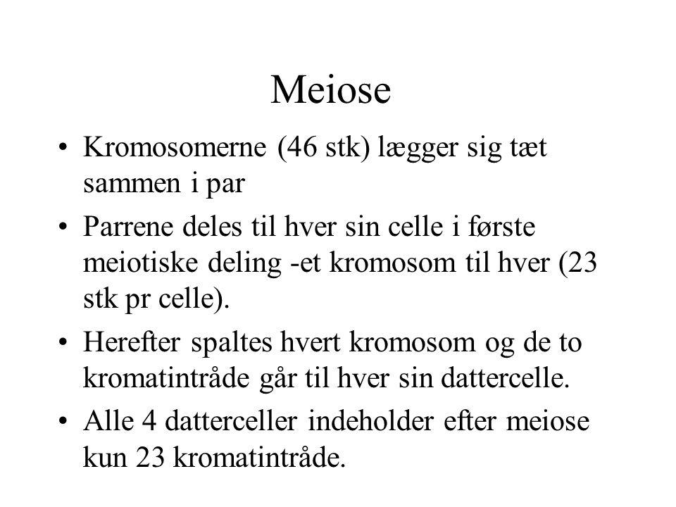 Meiose Kromosomerne (46 stk) lægger sig tæt sammen i par
