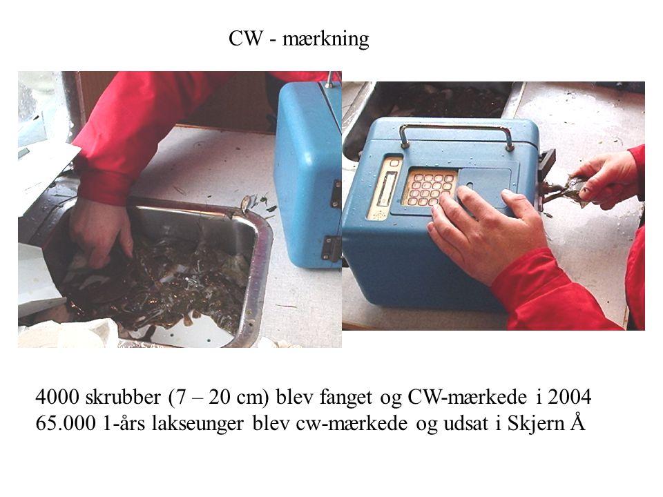 CW - mærkning 4000 skrubber (7 – 20 cm) blev fanget og CW-mærkede i 2004.
