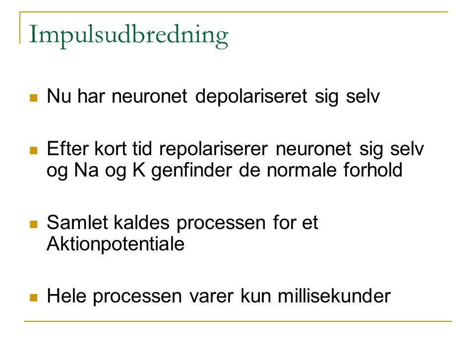 Impulsudbredning Nu har neuronet depolariseret sig selv