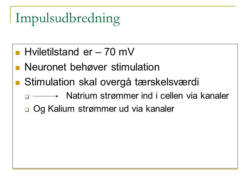 Impulsudbredning Hviletilstand er – 70 mV Neuronet behøver stimulation