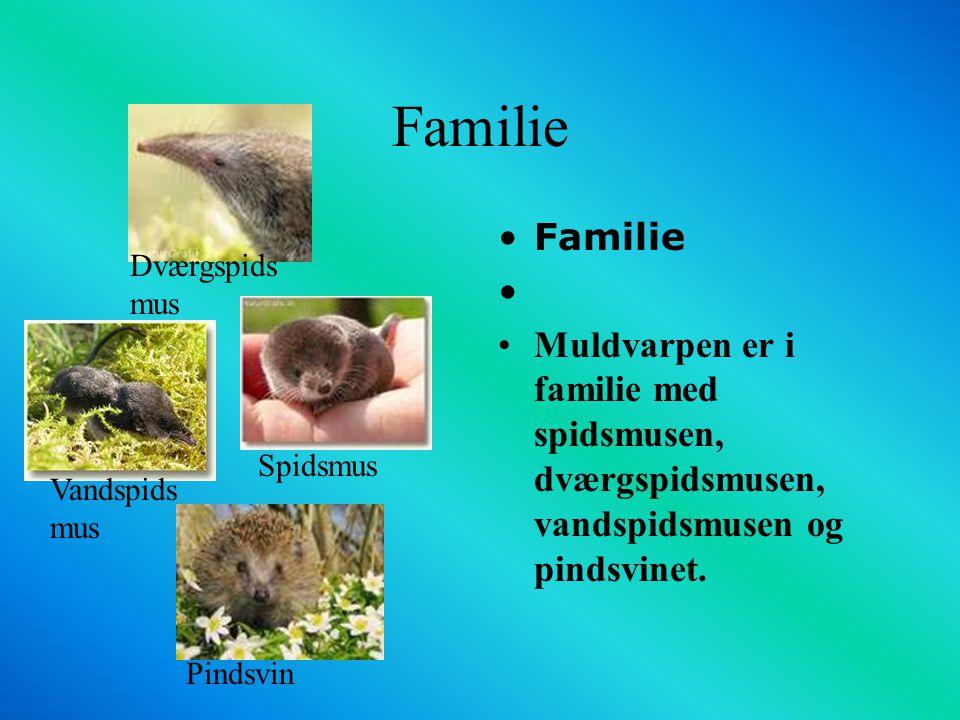 Familie Familie. Muldvarpen er i familie med spidsmusen, dværgspidsmusen, vandspidsmusen og pindsvinet.