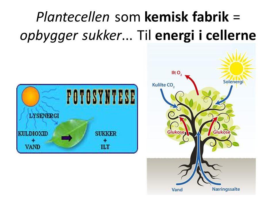 Plantecellen som kemisk fabrik = opbygger sukker... Til energi i cellerne