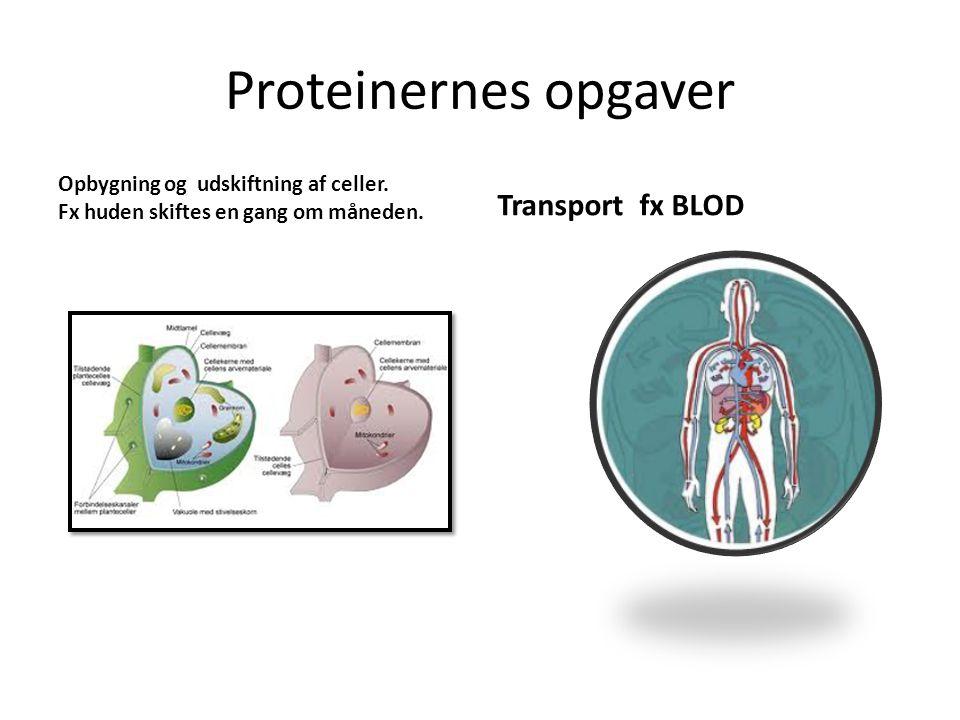 Proteinernes opgaver Transport fx BLOD