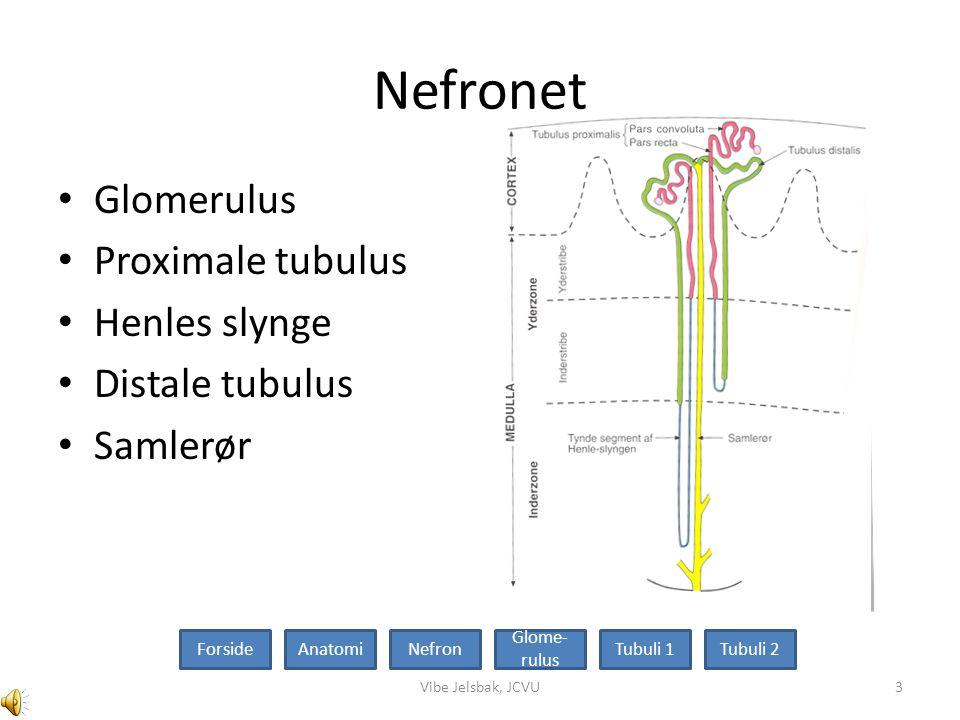 Nefronet Glomerulus Proximale tubulus Henles slynge Distale tubulus