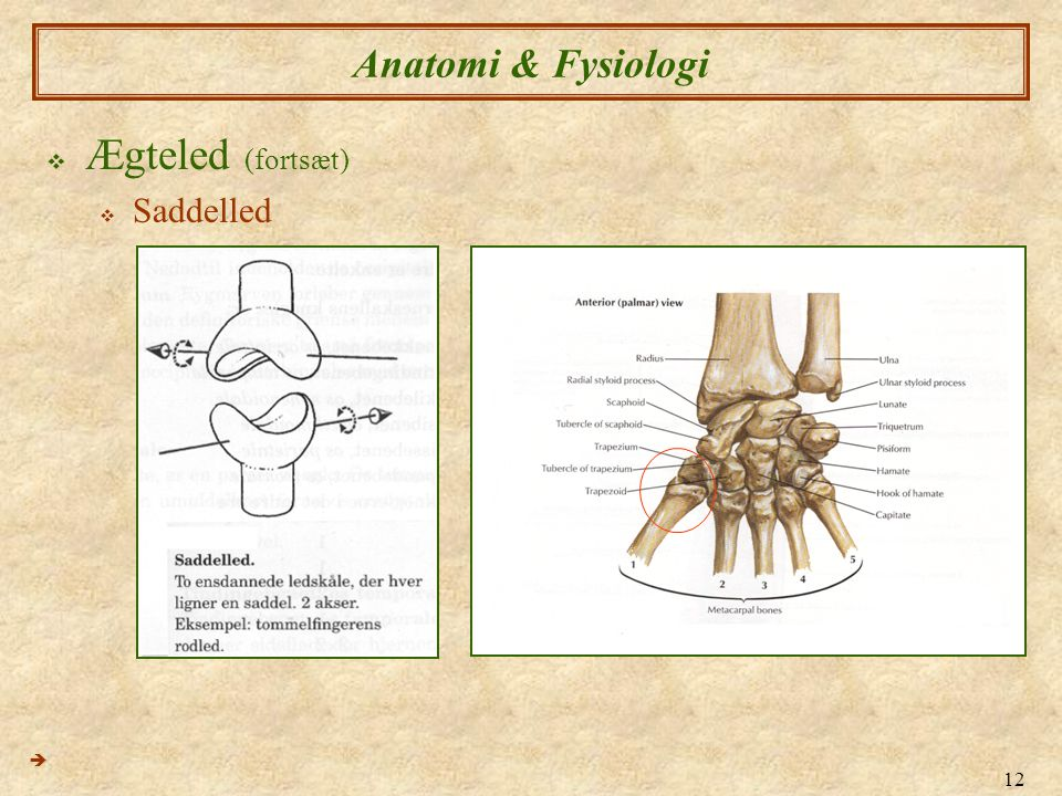 Anatomi & Fysiologi Ægteled (fortsæt) Saddelled 