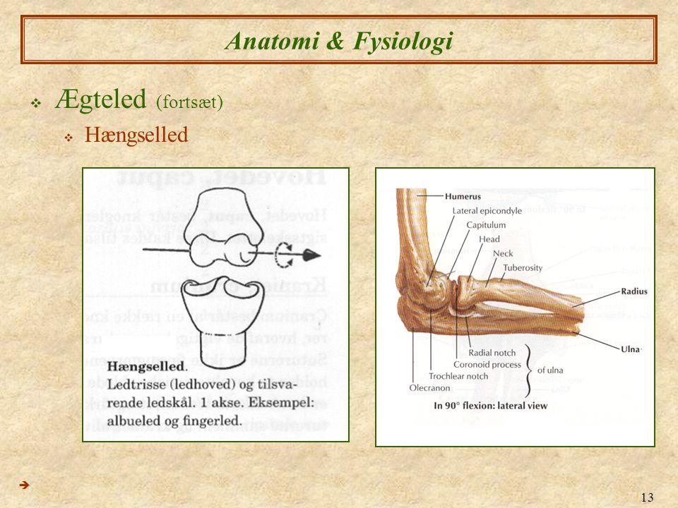 Anatomi & Fysiologi Ægteled (fortsæt) Hængselled 