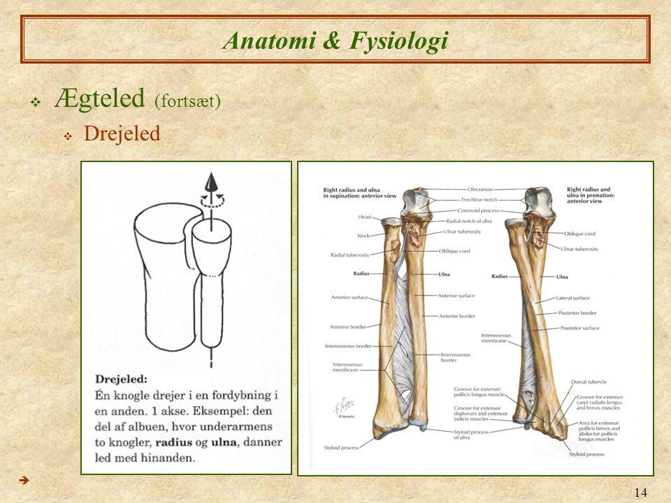 Anatomi & Fysiologi Ægteled (fortsæt) Drejeled 