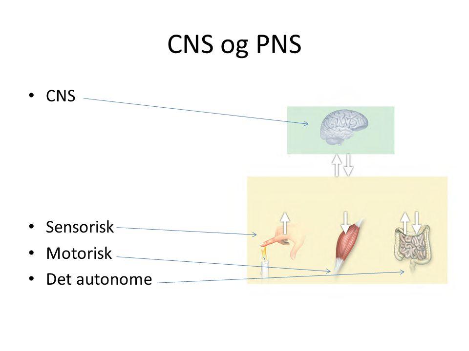 CNS og PNS CNS Sensorisk Motorisk Det autonome