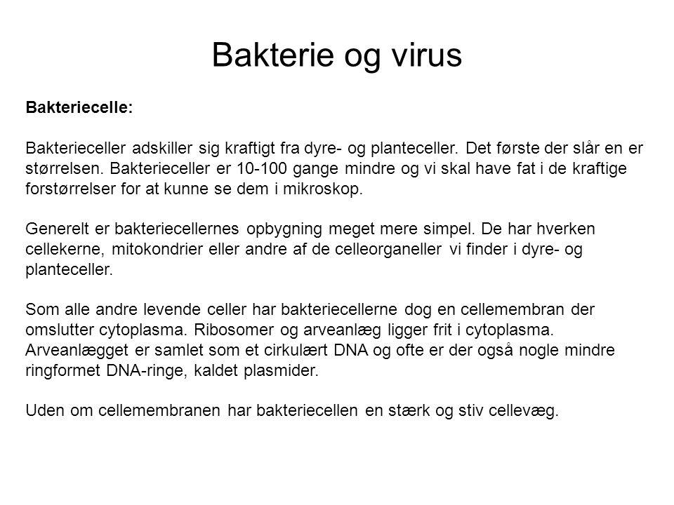 Bakterie og virus Bakteriecelle: