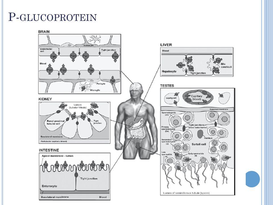 P-glucoprotein