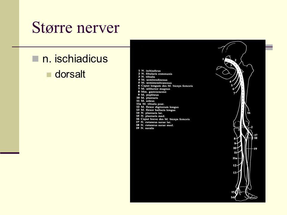 Større nerver n. ischiadicus dorsalt