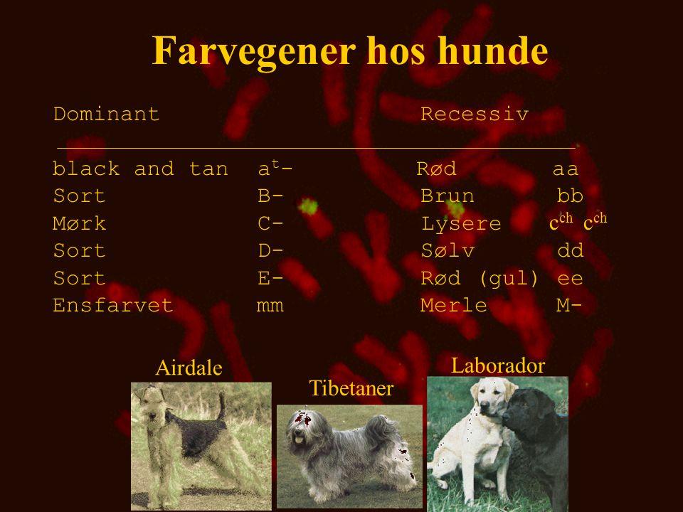 Farvegener hos hunde Dominant Recessiv black and tan at- Rød aa