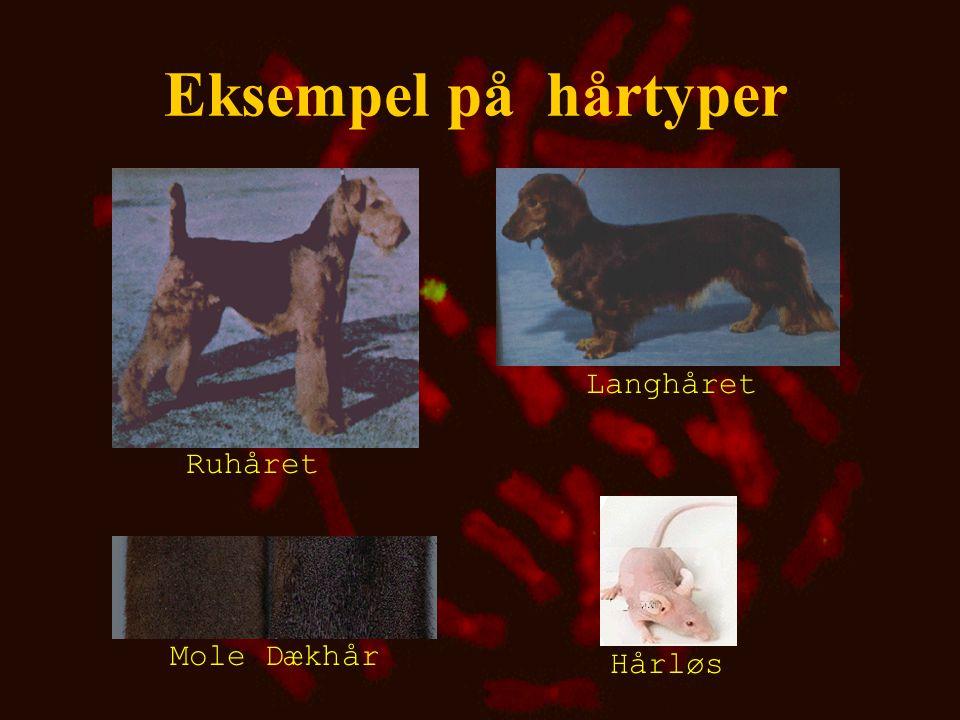Eksempel på hårtyper Langhåret Ruhåret Mole Dækhår Hårløs