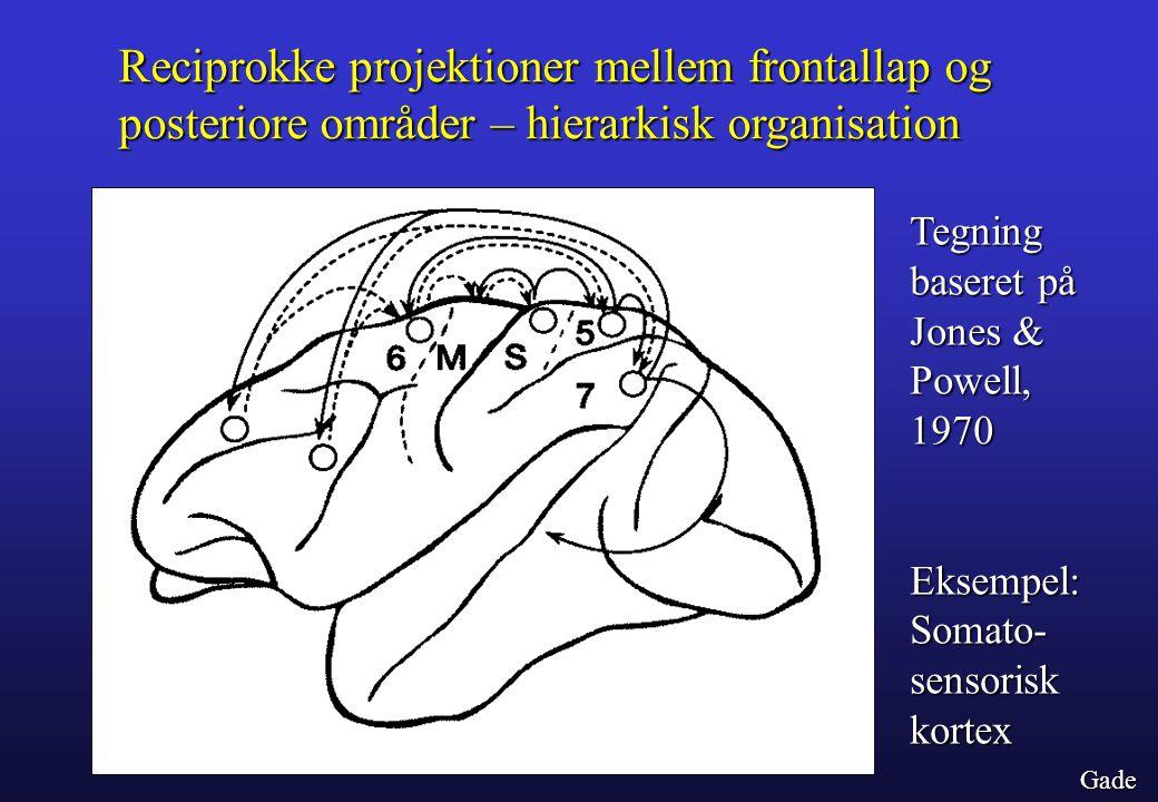Reciprokke projektioner mellem frontallap og posteriore områder – hierarkisk organisation