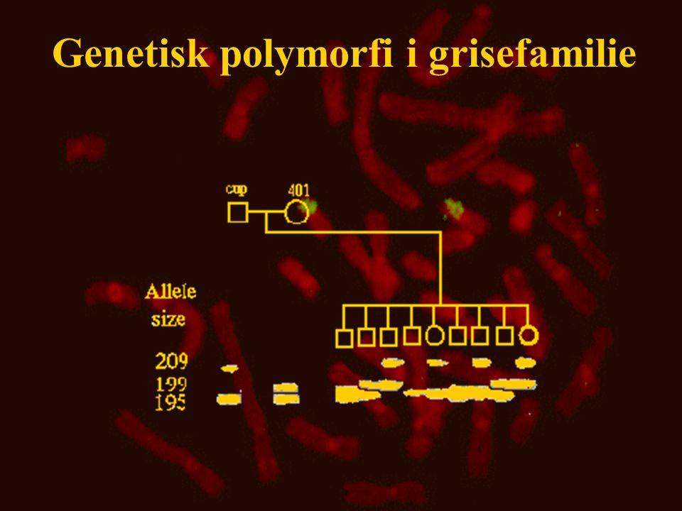 Genetisk polymorfi i grisefamilie