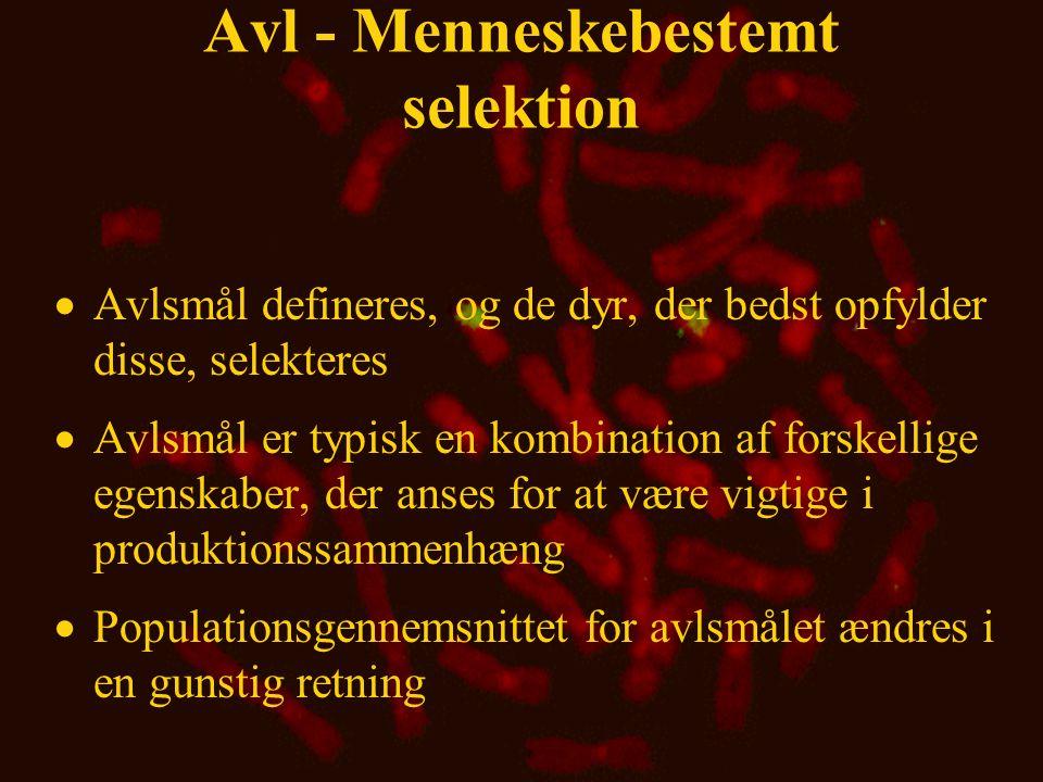 Avl - Menneskebestemt selektion