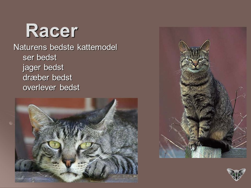 Racer Naturens bedste kattemodel ser bedst jager bedst dræber bedst