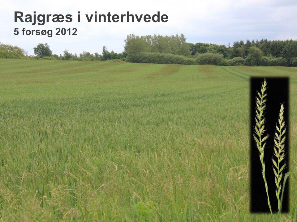 Rajgræs i vinterhvede 5 forsøg 2012