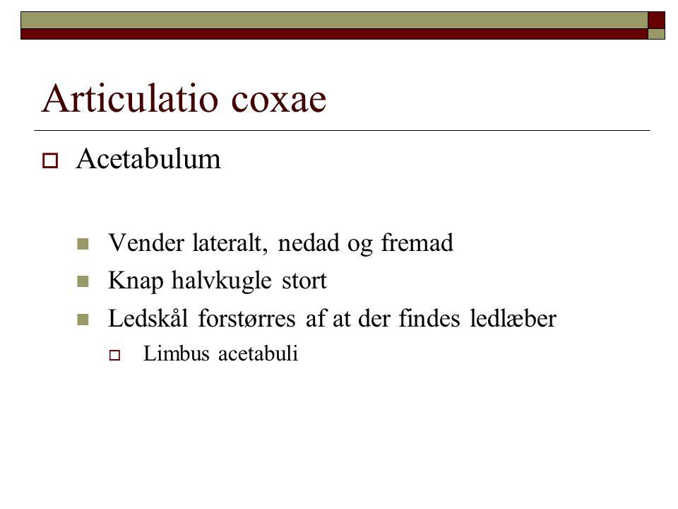 Articulatio coxae Acetabulum Vender lateralt, nedad og fremad