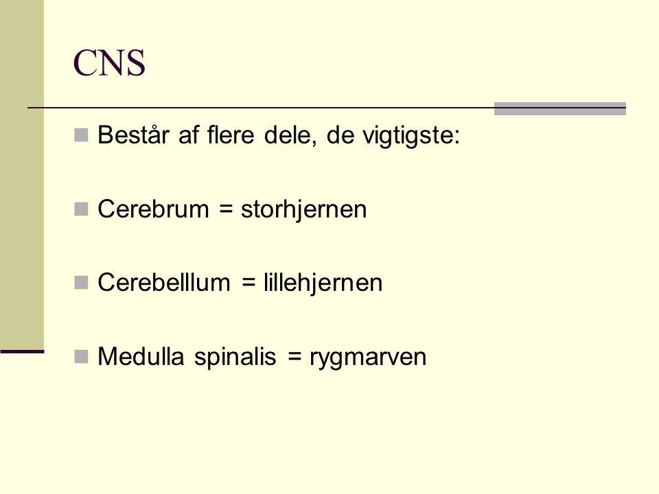 CNS Består af flere dele, de vigtigste: Cerebrum = storhjernen