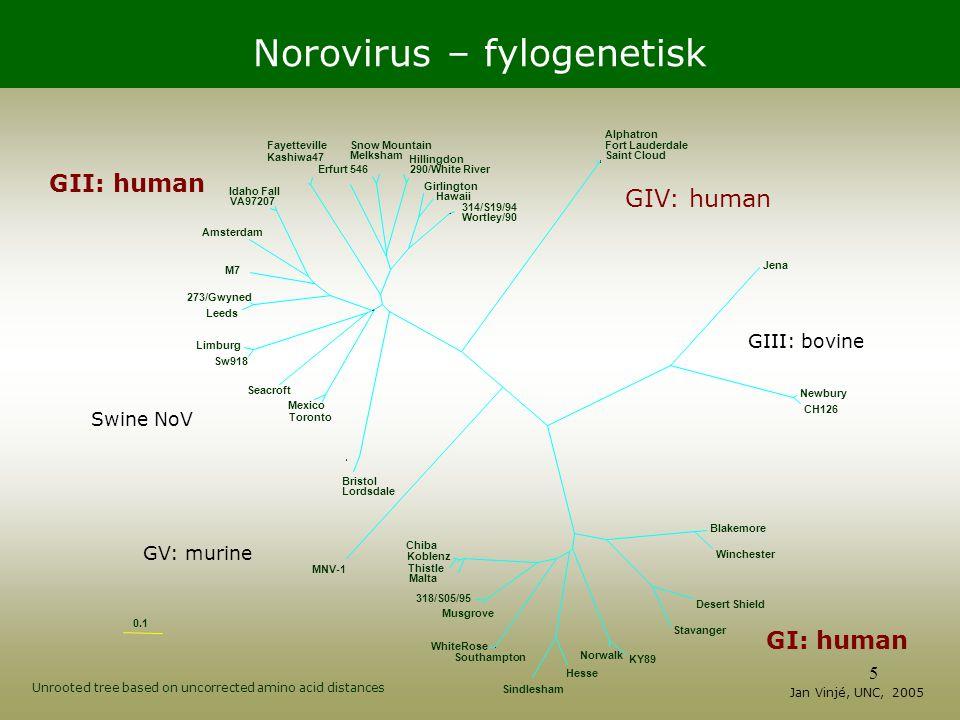 Norovirus – fylogenetisk