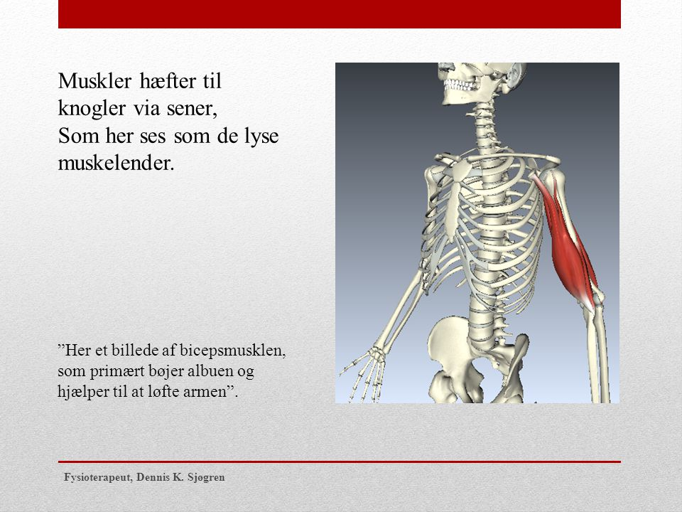 Muskler hæfter til knogler via sener,