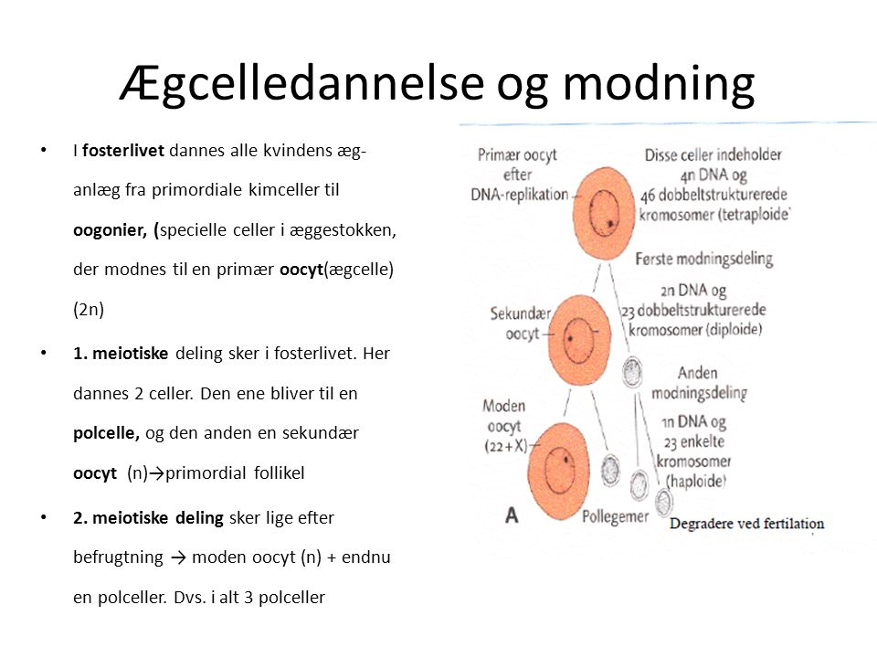 Ægcelledannelse og modning