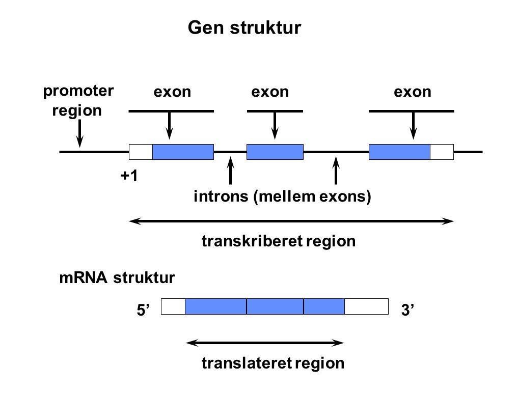 Gen struktur promoter region exon exon exon +1 introns (mellem exons)