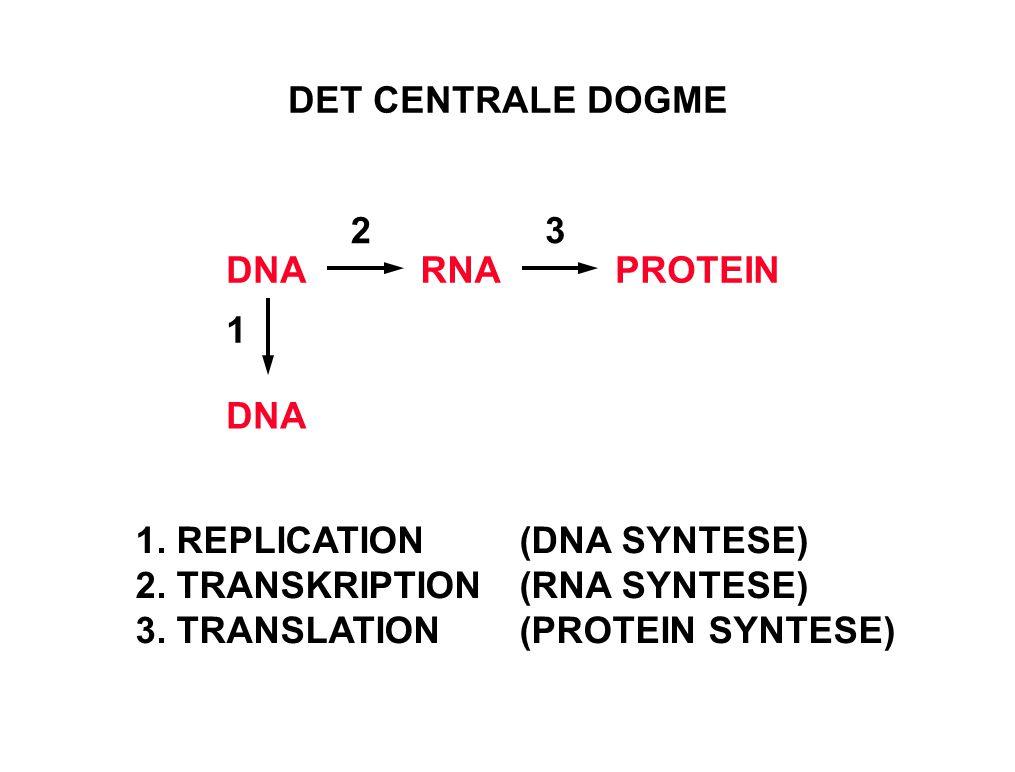 1. REPLICATION (DNA SYNTESE) 2. TRANSKRIPTION (RNA SYNTESE)