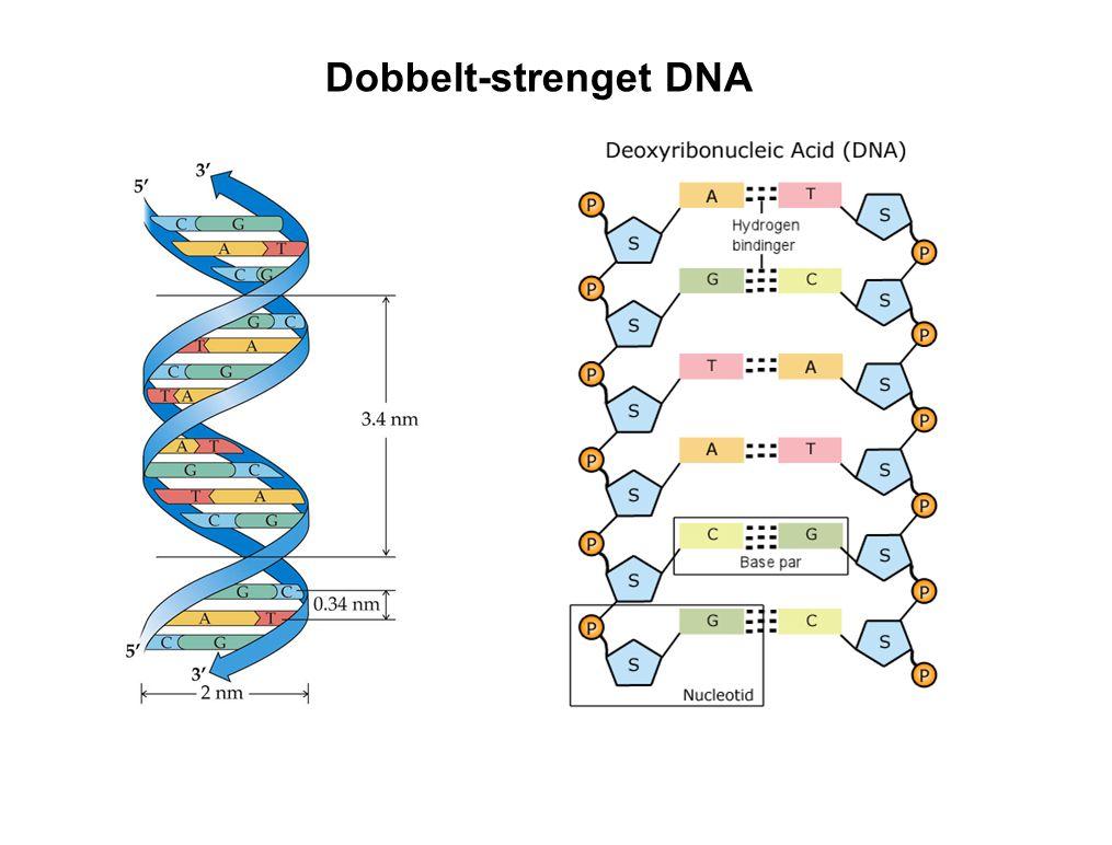 Dobbelt-strenget DNA