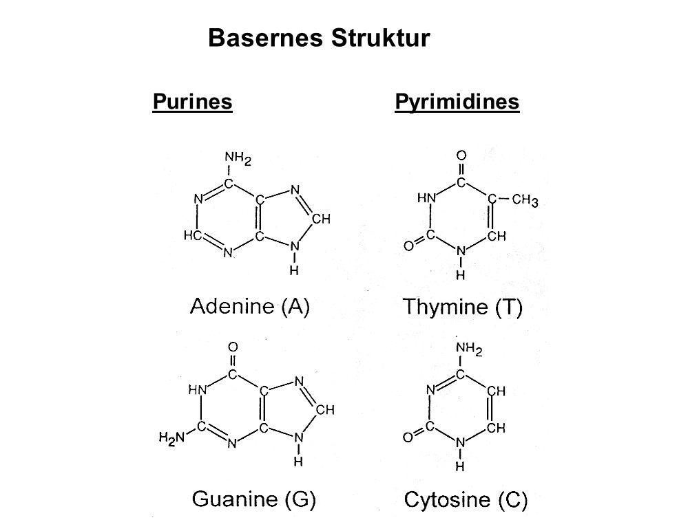 Basernes Struktur Purines Pyrimidines