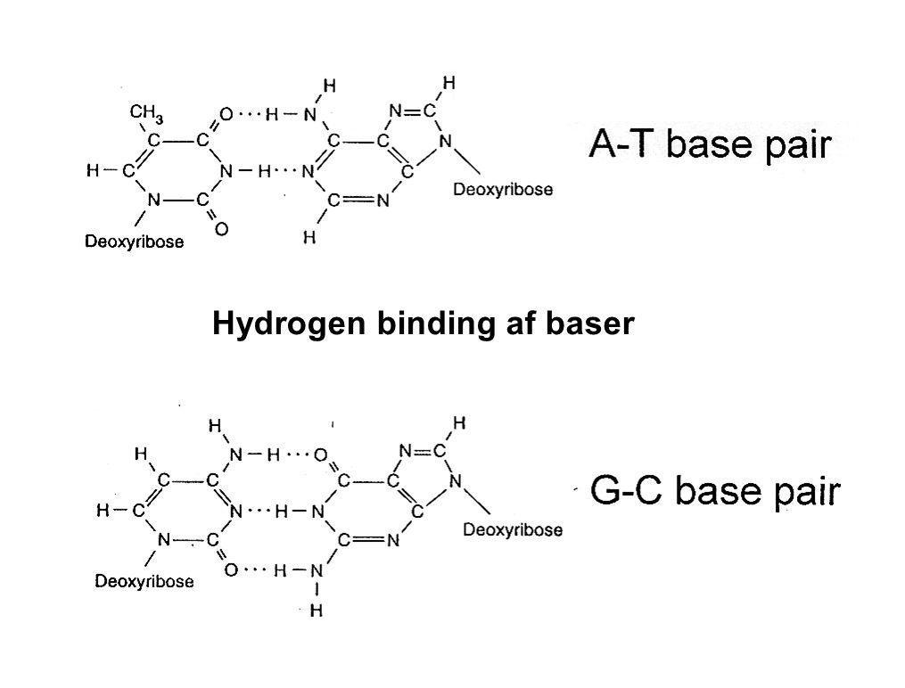 Hydrogen binding af baser