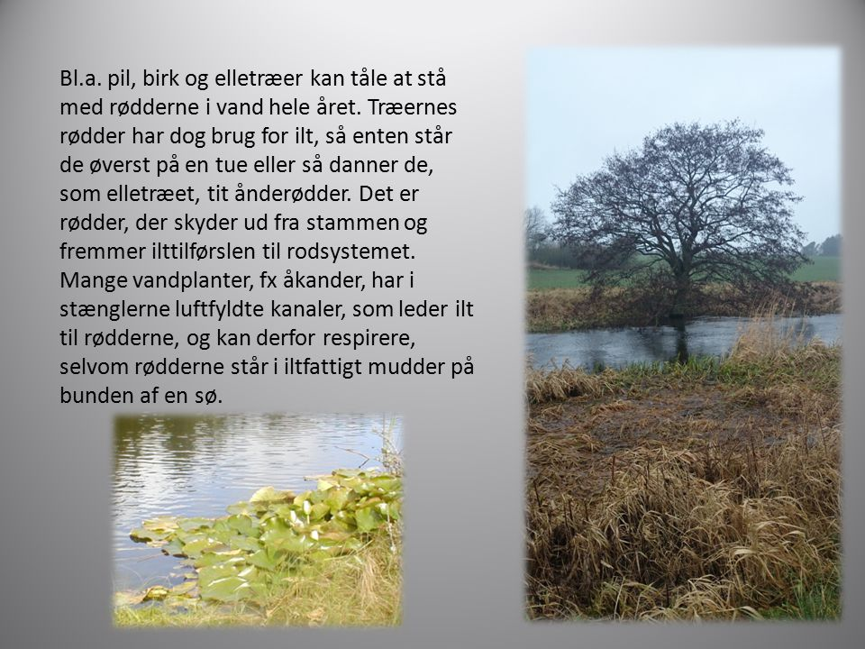 Bl.a. pil, birk og elletræer kan tåle at stå med rødderne i vand hele året.