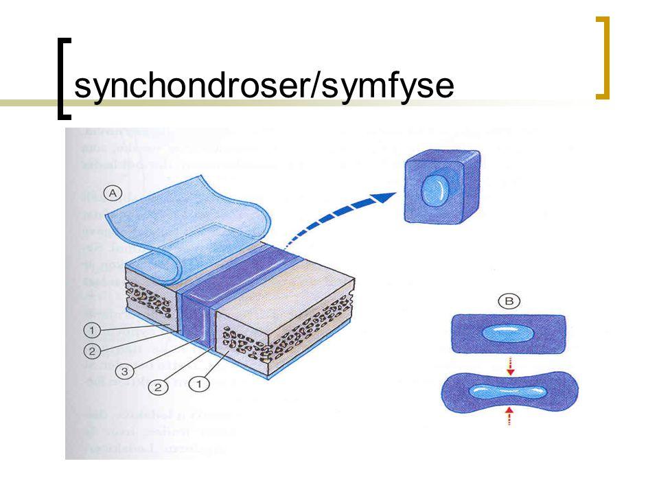 synchondroser/symfyse