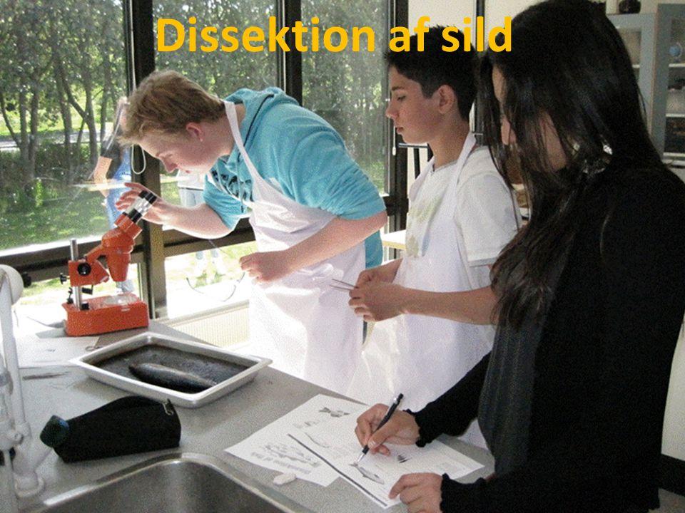 Dissektion af sild