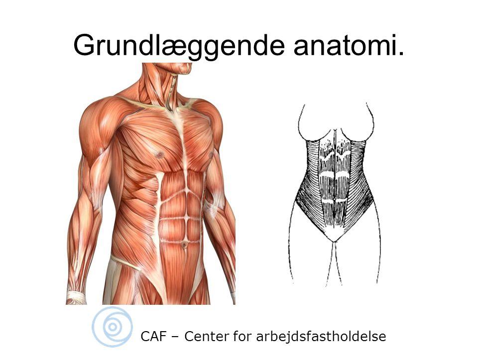Grundlæggende anatomi.