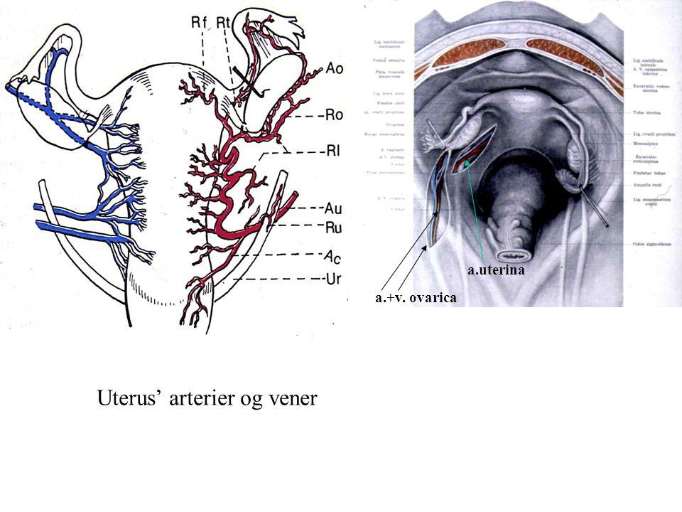 Uterus' arterier og vener