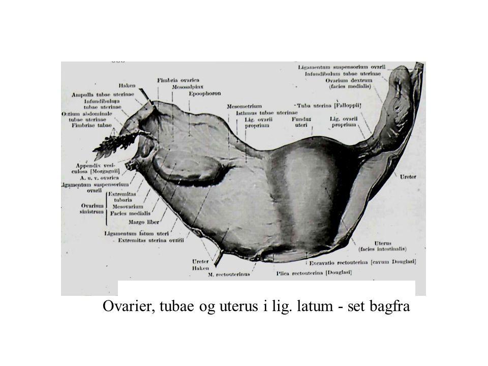 Ovarier, tubae og uterus i lig. latum - set bagfra