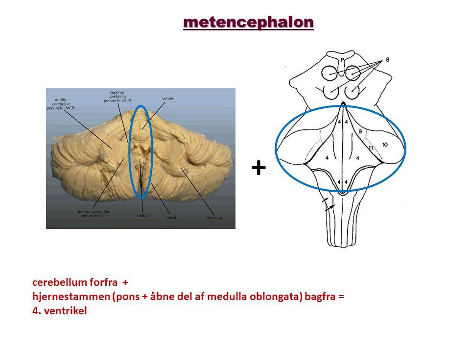 + metencephalon cerebellum forfra +