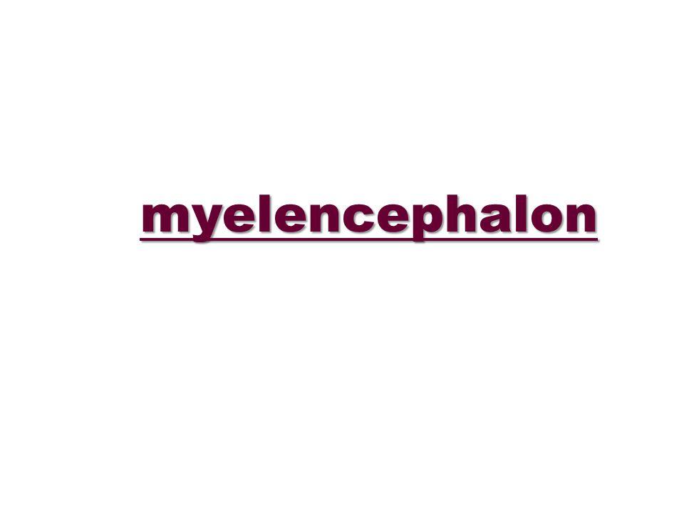 myelencephalon