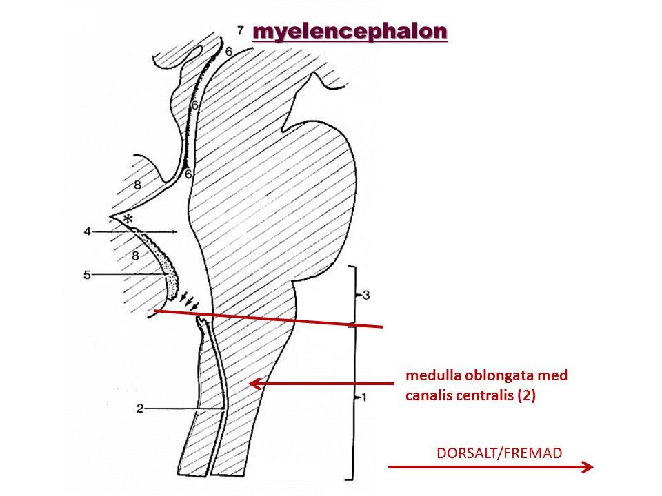 myelencephalon medulla oblongata med canalis centralis (2)
