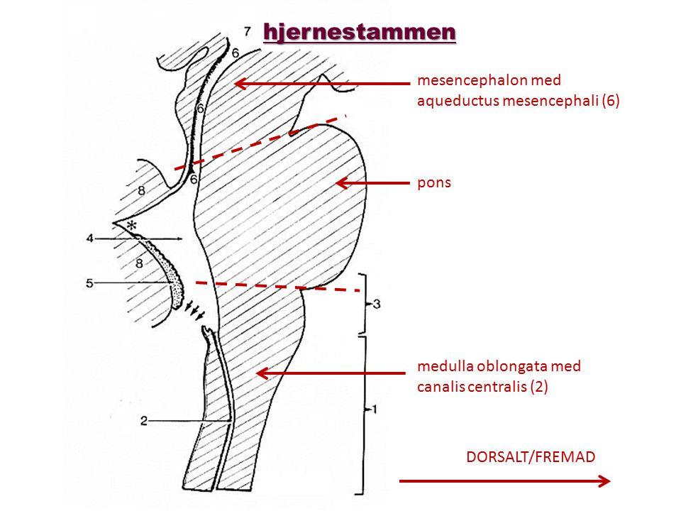 hjernestammen mesencephalon med aqueductus mesencephali (6) pons
