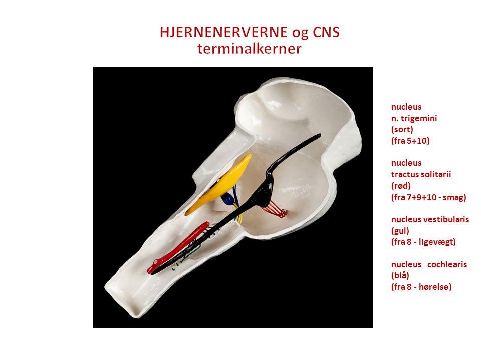 HJERNENERVERNE og CNS terminalkerner