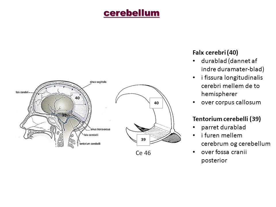 cerebellum Falx cerebri (40) durablad (dannet af indre duramater-blad)