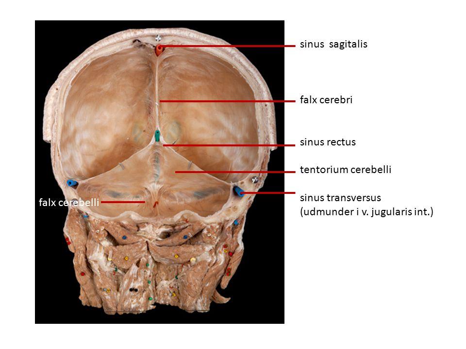 sinus sagitalis falx cerebri. sinus rectus. tentorium cerebelli. sinus transversus. (udmunder i v. jugularis int.)