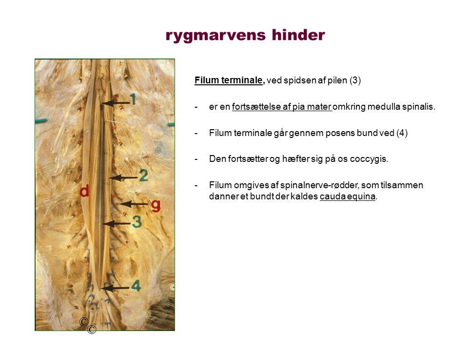 rygmarvens hinder © © Filum terminale, ved spidsen af pilen (3)